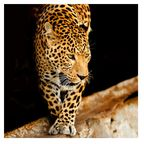 Home4you Print Picture Nature 50x50cm Panther