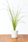 Click&Grow Smart Home Chives Refill 3-Pack